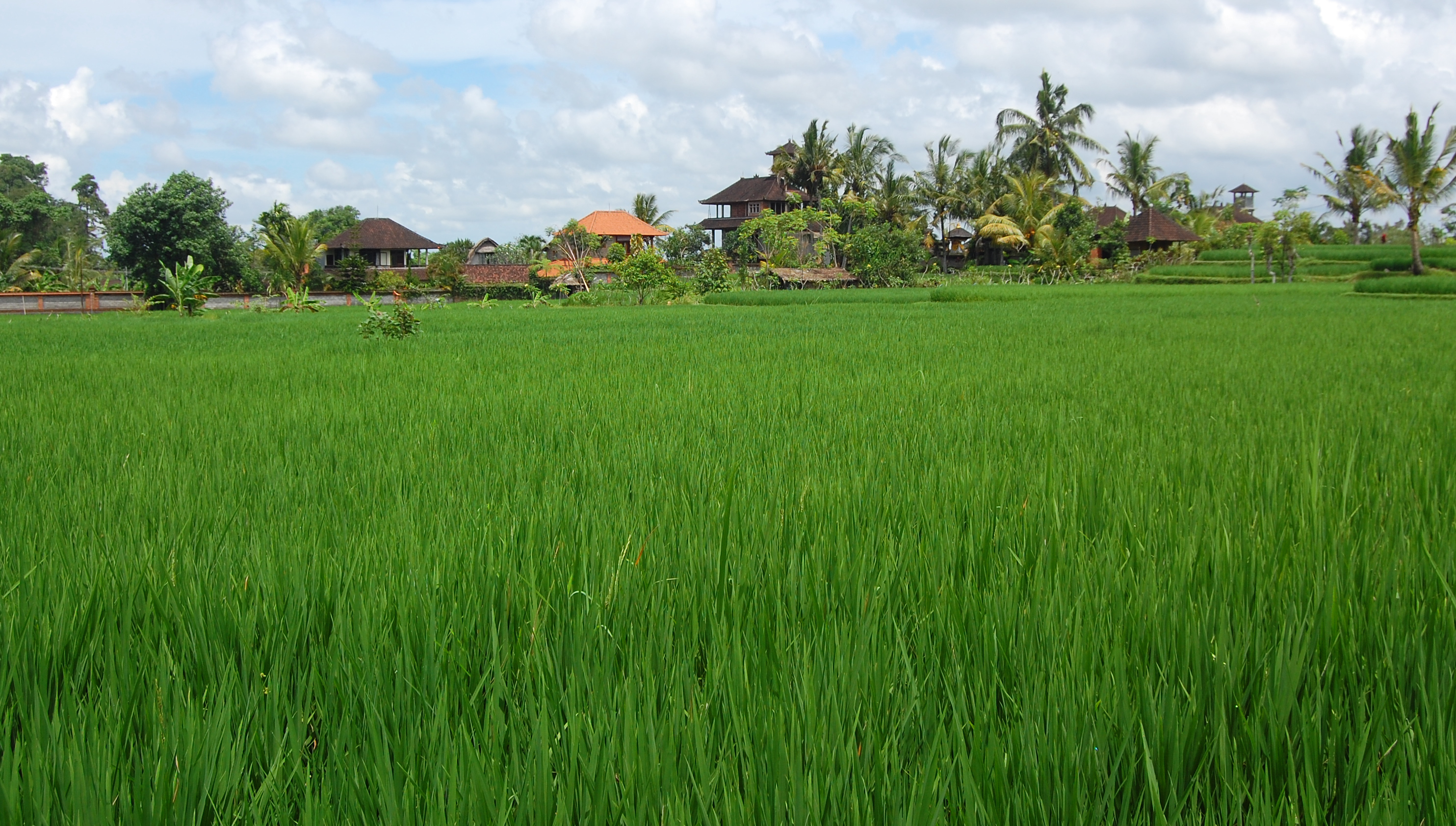 rice fields - photo #32